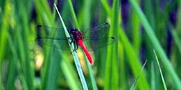 A red skimmer dragonfly